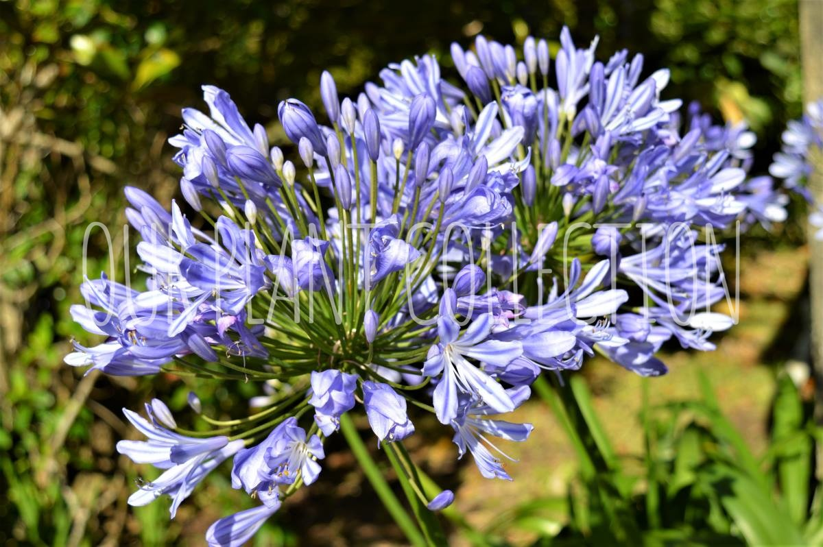 Agapanthus – Lily of the Nile