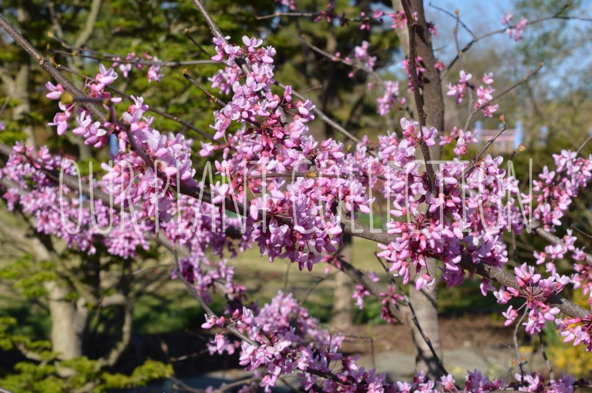 Cercis canadensis 'Alley Cat' – Alley Cat Redbud