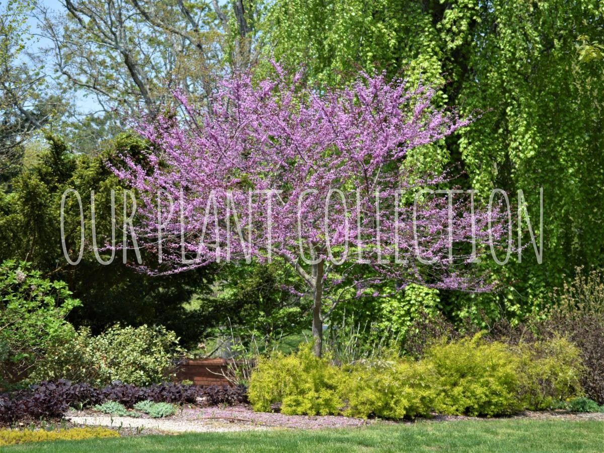 Cercis canadensis 'Forest Pansy' – Forest Pansy Redbud