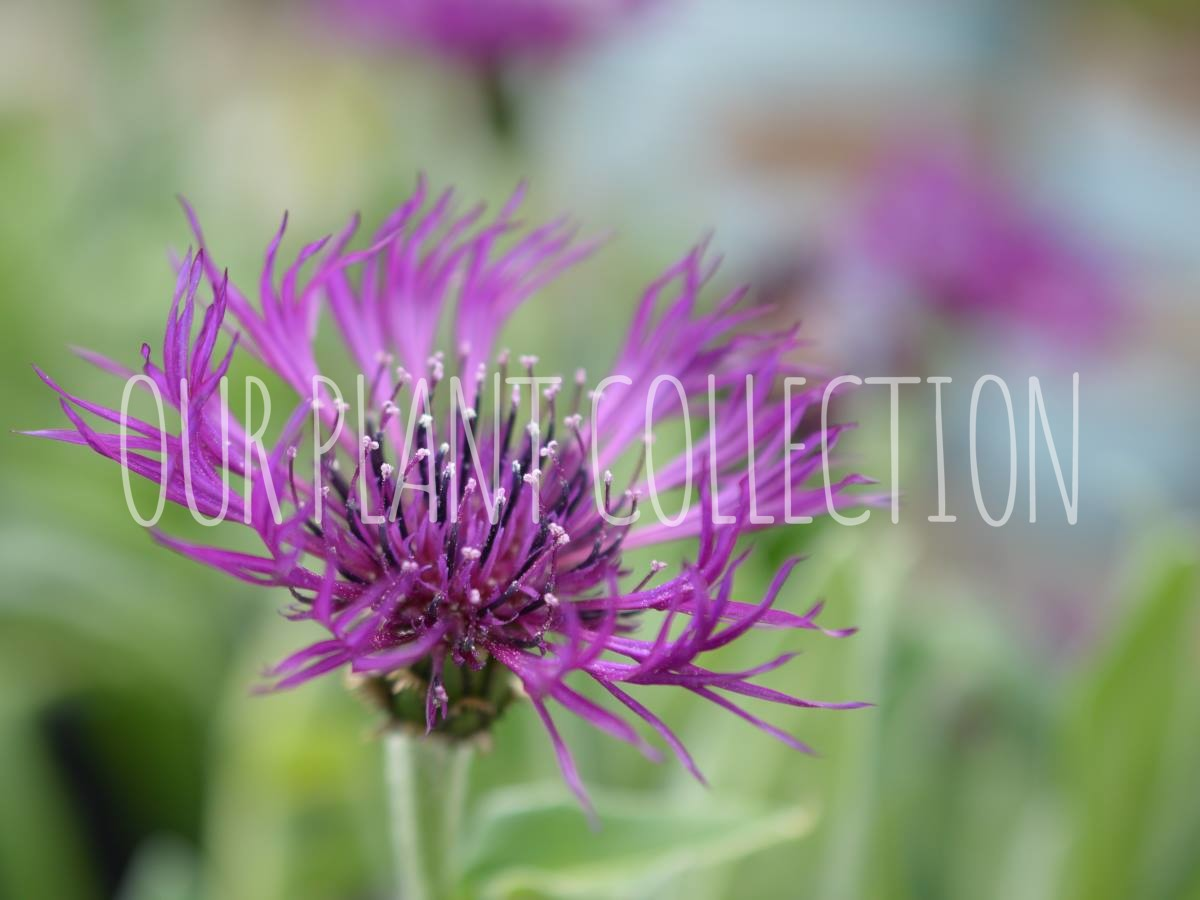Centaurea montana 'Amethyst Dream' – Amethyst Dream Bachelor Button
