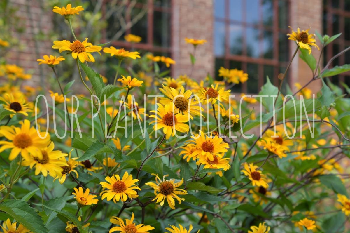 Heliopsis helianthoides 'Summer Nights' – Oxey eDaisy