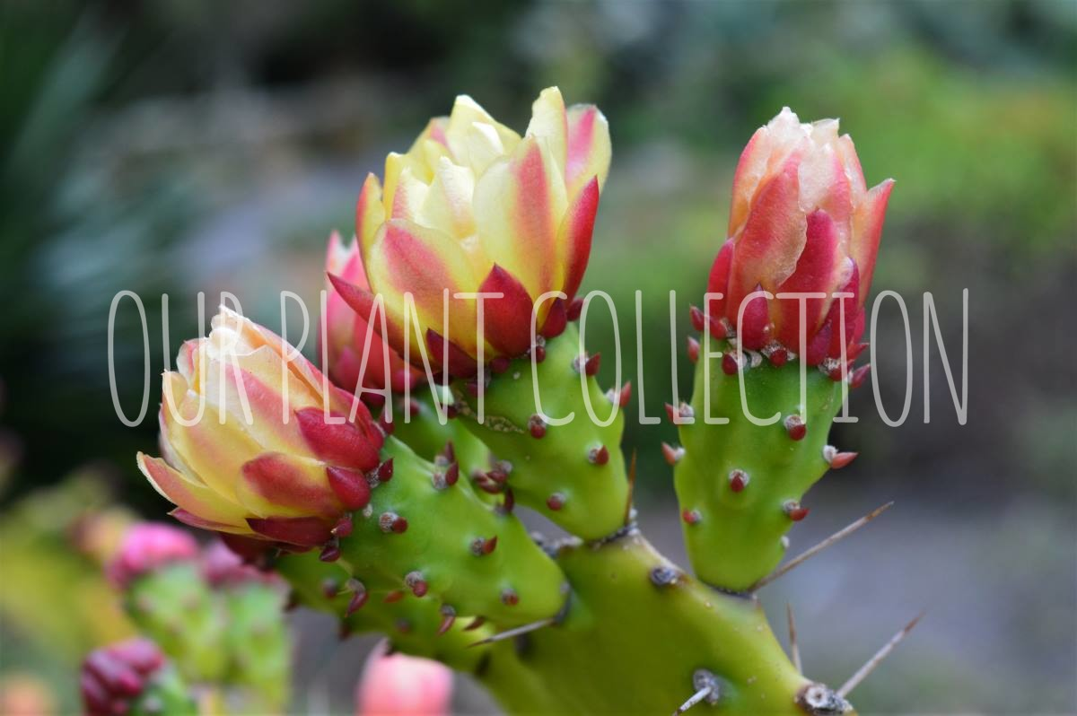 Opuntia monacantha – Common Prickly Pear