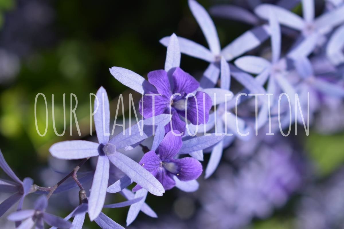 Petrea volubilis – Queen's wreath