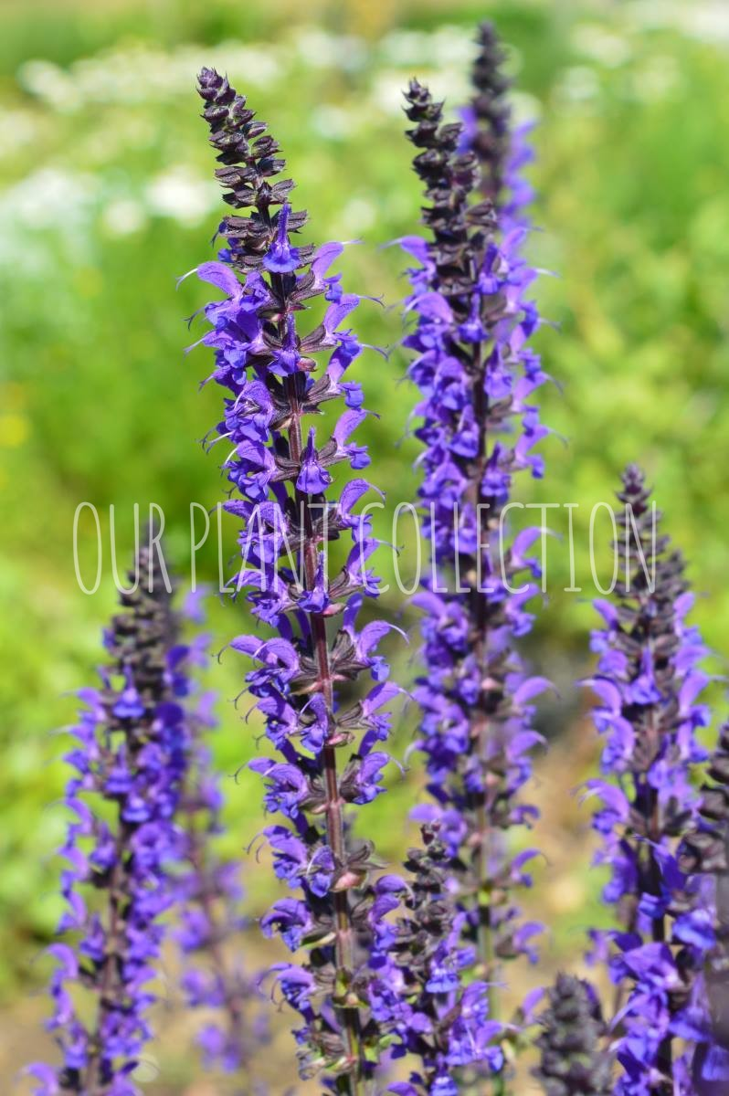 Salvia cemorosa 'May Night' – May Night Salvia