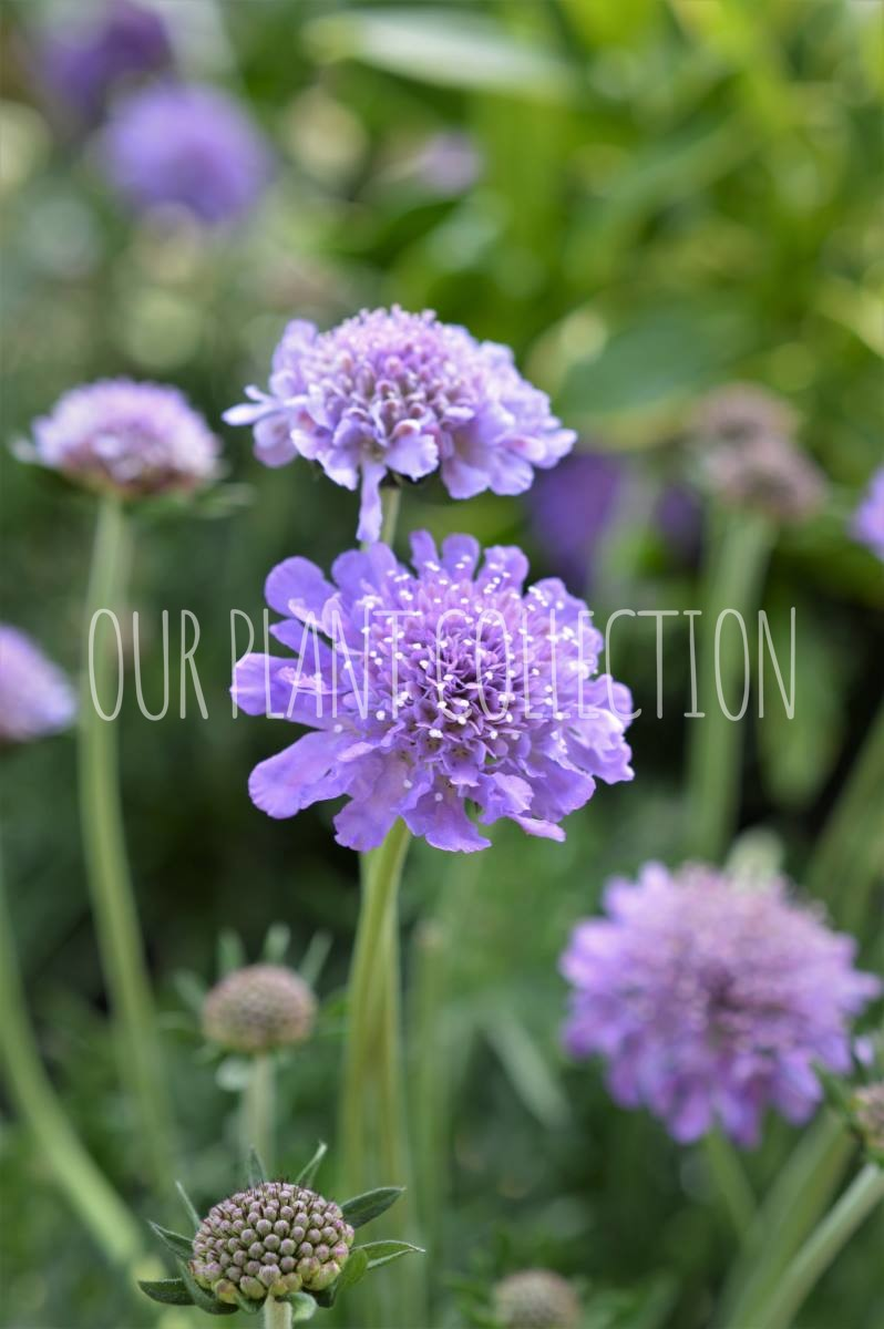 Scabiosa 'Butterfly Blue' – Pincushion Flowers
