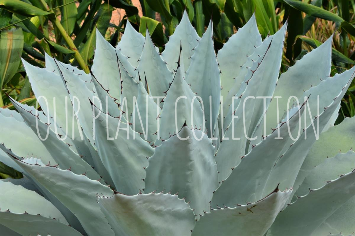 Agave ovatifolia 'Frosty Blue' – Whale's Tongue Agave