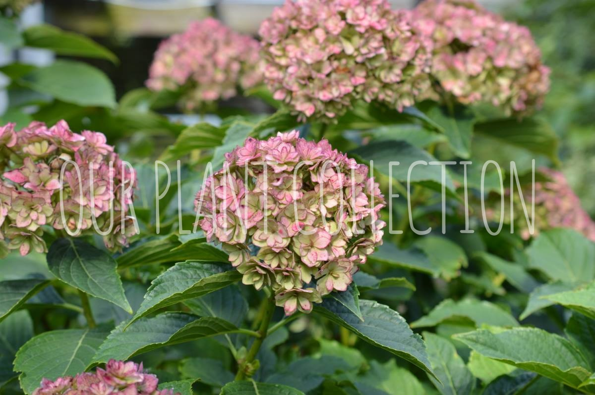 Hydrangea macrophylla 'Forever and Ever Together' – Hydrangea