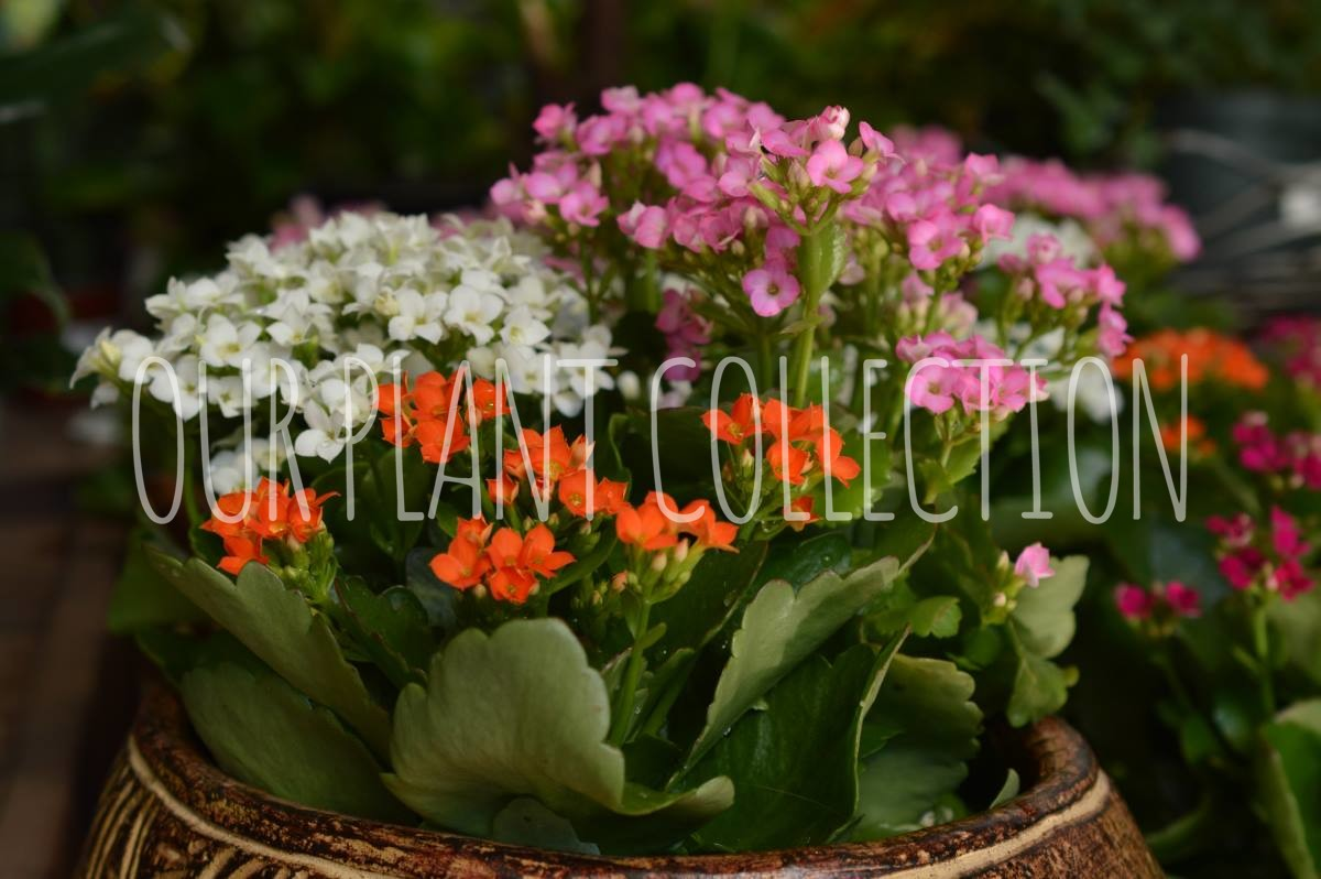 Kalanchoe – Widow's Thrill