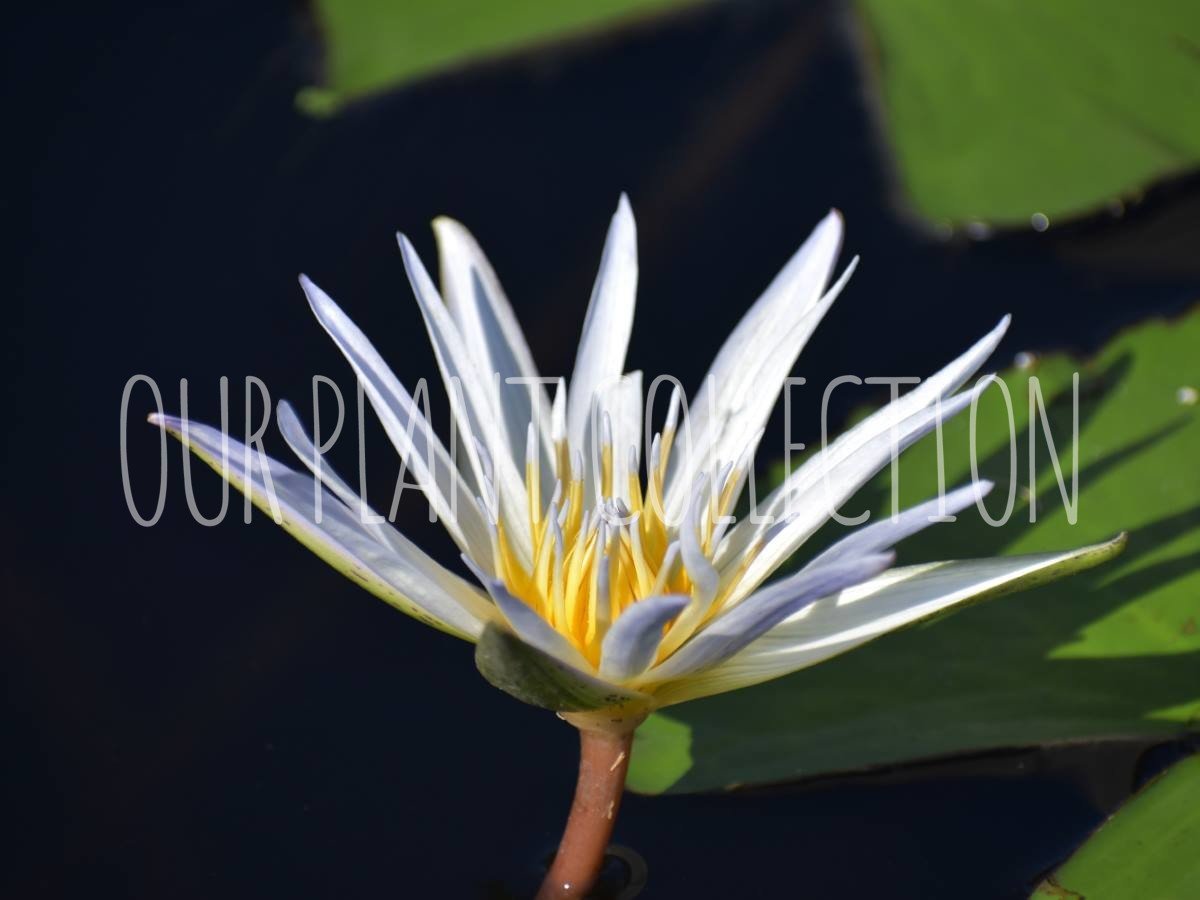 Nymphaea – Water Lily
