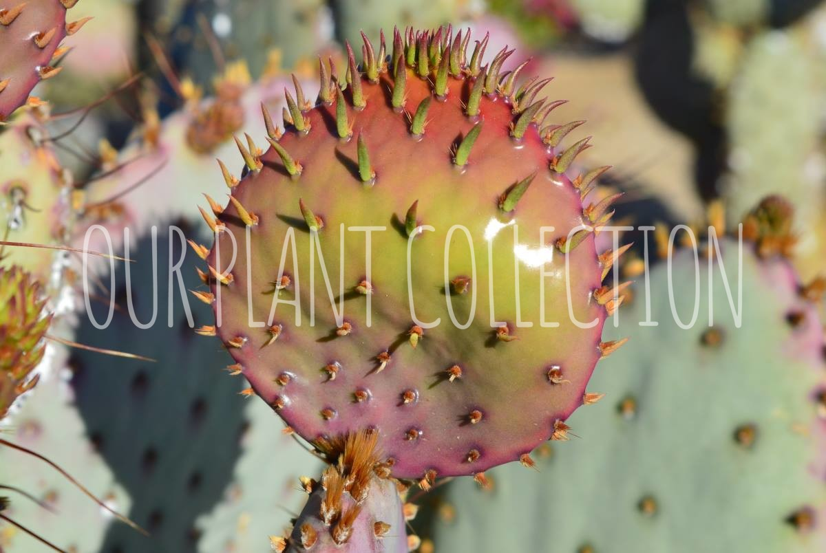 Opuntia sp. – Prickly Pear