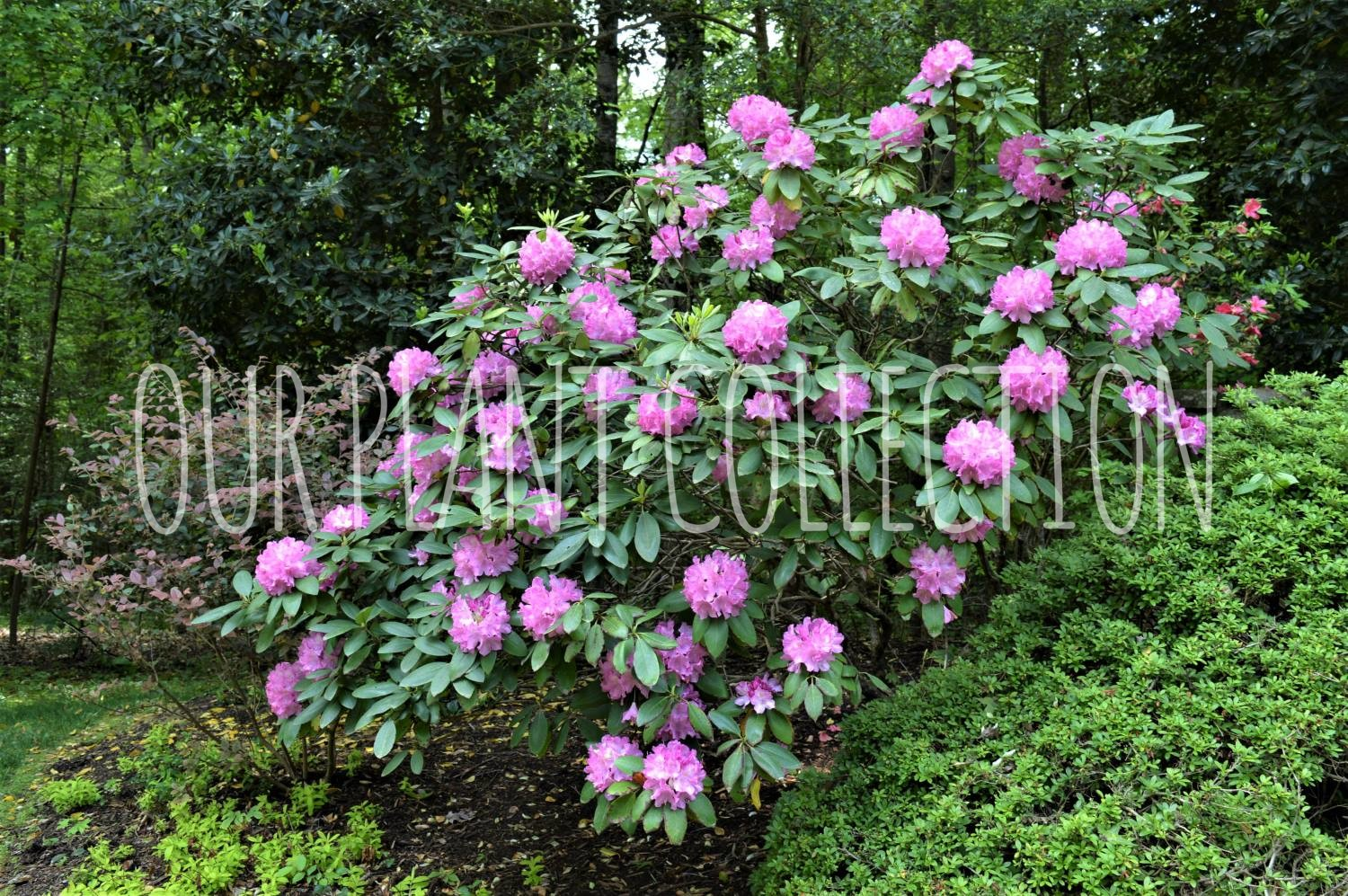 Rhododendron – Purple Rhododendron