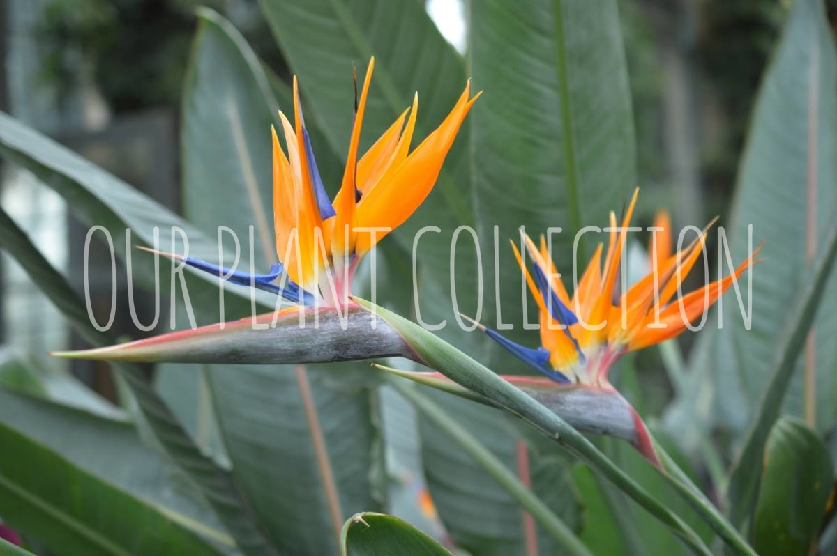 Strelitzia reginae – Bird of Paradise