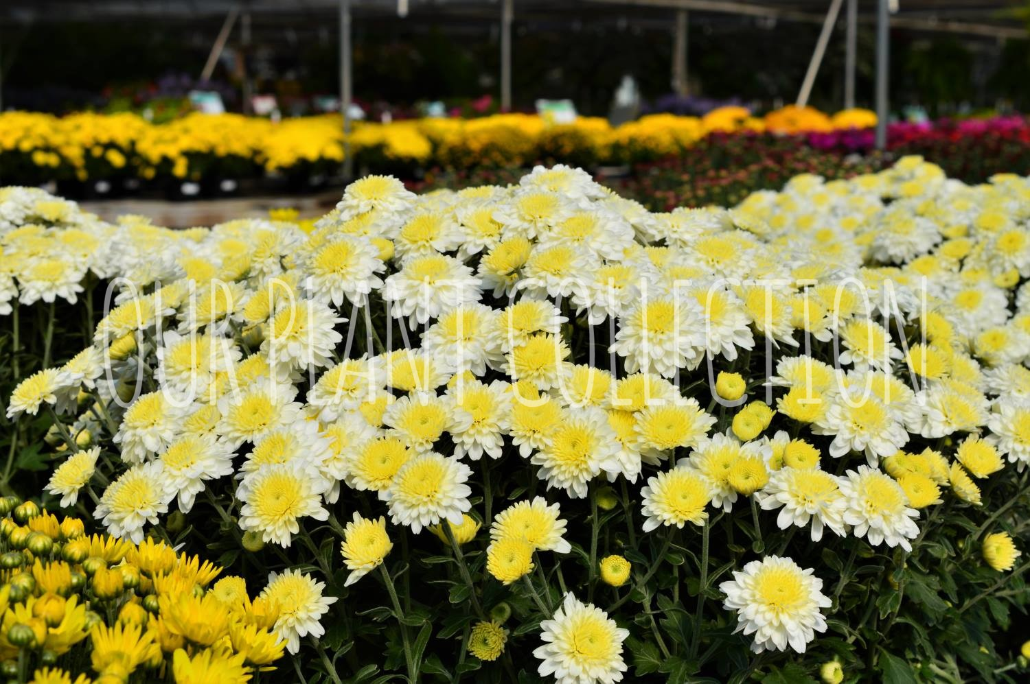 Chrysanthemum- White Chrysanthemum