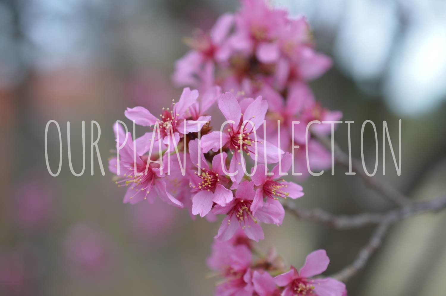 Prunus 'First Lady – First Lady Flowering Cherry