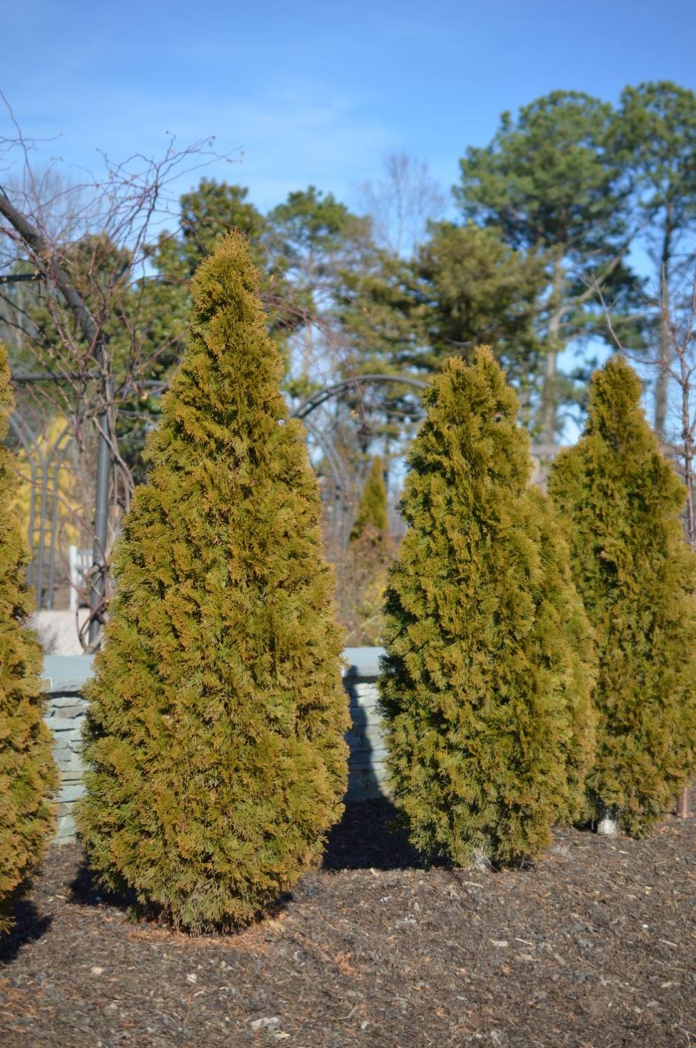 Thuja occidentalis 'Smaragd' – Emerald Green Arborvitae