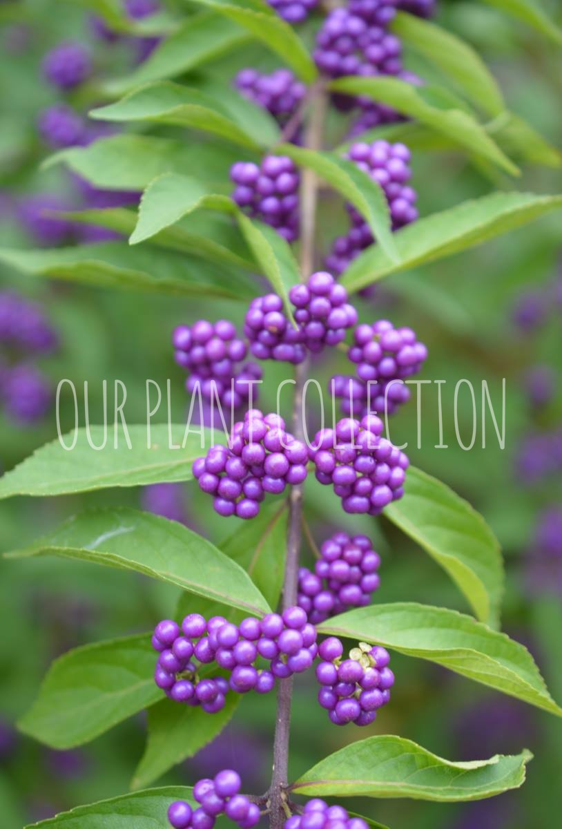 Callicarpa dichotoma – Purple Beautyberry