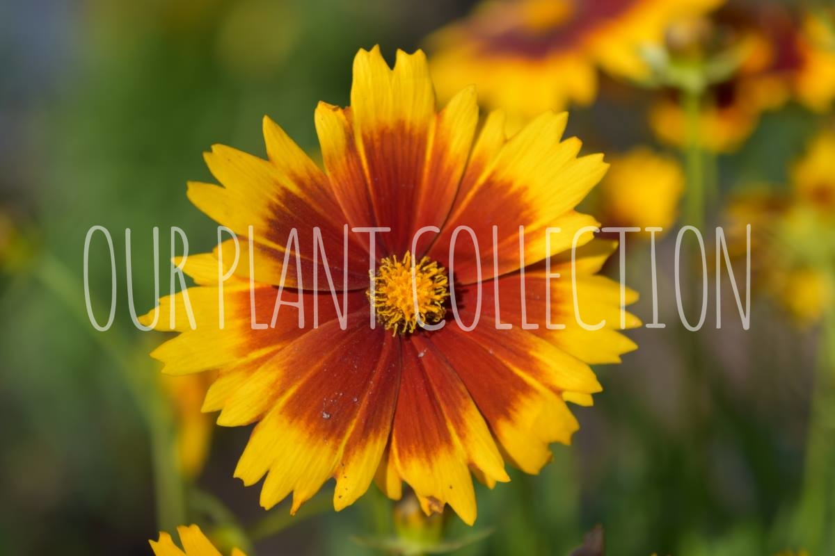 Coreopsis hybrid 'Uptick Gold And Bronze' – Tickseed